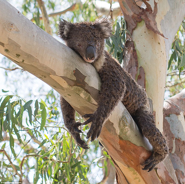 301A889A00000578-3396495-A_man_helped_a_koala_cool_off_from_the_scorching_Adelaide_sun_by-a-18_1452645299274