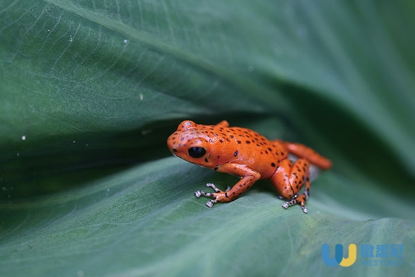 Red_poison_dart_frog